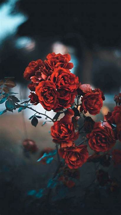 Wallpapers Iphone Aesthetic Flower Rose Flowers Background