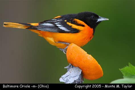 orioles blackbirds cowbirds grackle and meadowlark gallery