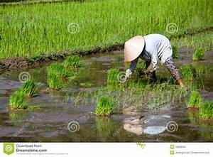 Asian Worker In Paddy Field Stock Photography - Image ...