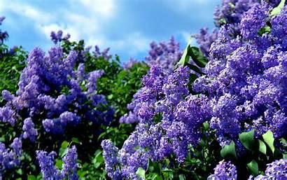 Lilac Spring Desktop Flowers Lilacs Bushes Wallpapers