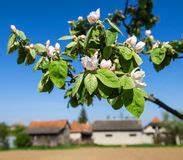 Rosa Blühender Baum Im Frühling : rosa blumen bl hender pfirsich baum am fr hling ~ Lizthompson.info Haus und Dekorationen