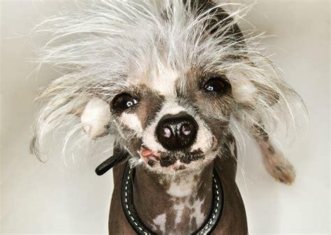 small hypoallergenic dogs  dont barkmuch dog vills