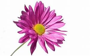 Purple Flower White Background Wallpaper