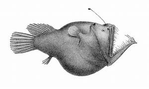 angler fish illustration | sealife with fascinatingly ugly ...