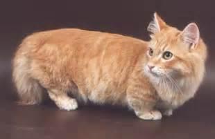munchkin cats munchkin cats damn cool pictures