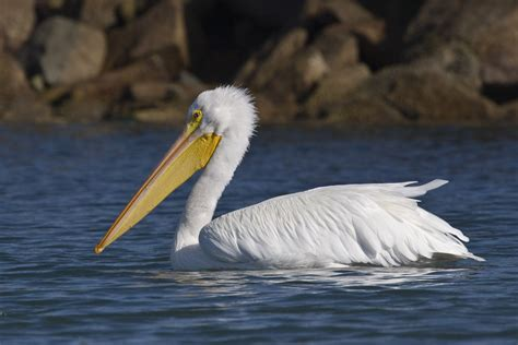 American White Pelican (pelecanus