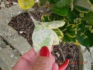 Traitement Contre L Oïdium : identifiees cochenilles oidium ou cochenilles au ~ Dallasstarsshop.com Idées de Décoration