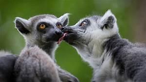 Cute Lemurs Kis... Cute Lemur Quotes