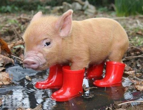baby pot belly pigs pot bellied pig in red boots cute things i want pinterest