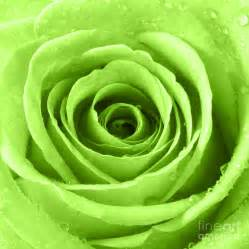 Green Lime Rose Flowers