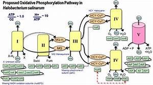 Proposed Oxidative Phosphorylation Pathway  H  Salinarum