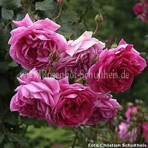 Rosen Düngen Im Frühjahr : parade rosen online kaufen im rosenhof schultheis rosen online kaufen im rosenhof schultheis ~ Orissabook.com Haus und Dekorationen