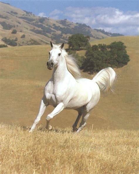 horse horses wild animal animals arabian sitting running bull caballus equus caballos caballo blancos whitehorse elk jellyfish kill whight