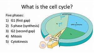 Cell Cycle  Mitosis  And Meiosis