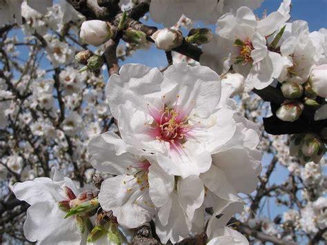 foto mandorlo in fiore tour della sicilia mandorlo in fiore i viaggi di giorgio