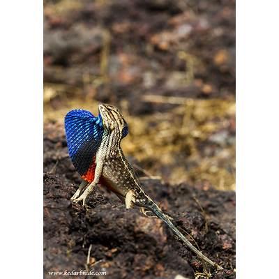 Kedar Bhide » Fan Throated Lizard