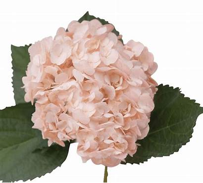 Blush Hydrangea Flowers Tinted Direct Delivery Date