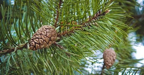 Tell the Difference Between Spruce and Pine Trees   Casey ...