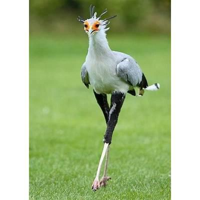 Secretary birdAviaryPinterest