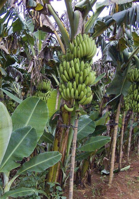 budidaya buah pisang ambon nusatanicom