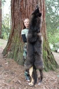 Bear Wolf Hybrid