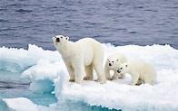 氣候暖化 北極熊將減三成 - 東方日報