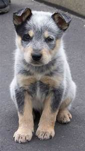 blue heeler puppy. my dad wanted one of these dogs, maybe ...
