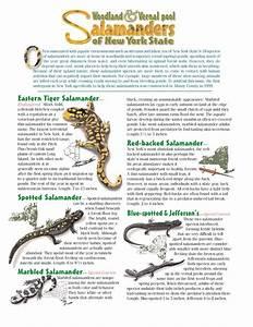 Salamanders Of New York State