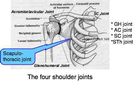 shoulder anatomy    joints wrapped