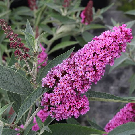buddleia buzz soft pink white flower farm
