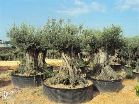 olivier en pot prix olivier en pot pas cher 28 images arbre olivier achat vente arbre olivier pas cher cdiscount