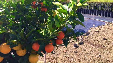 Citrus Fruit Salad Tree Youtube