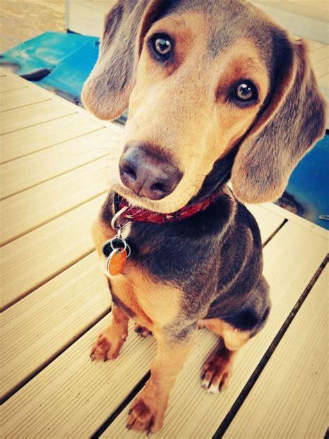 beagle doberman mix images  pinterest doberman