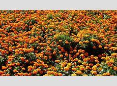 MLeWallpaperscom Multitude of Orange Marigolds