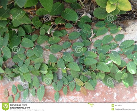 Creeping Fig, Climbing Fig, Ficus Pumila Stock Photo