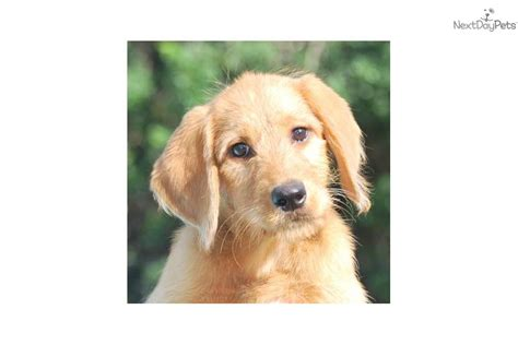 Non Shedding Hypoallergenic Hybrid Dogs by Non Shedding Protection Dogs Breeds Picture