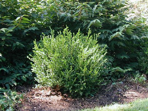 when to prune boxwood how to prune boxwood landscapeadvisor