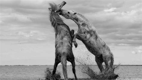 hdwallpaperscom  monochrome horses fighting