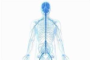 25 Unlabeled Muscle Diagram Worksheet
