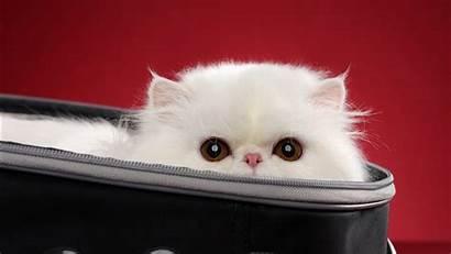 Cat Animals Bag Wallpapers Desktop 1366 Resolutions