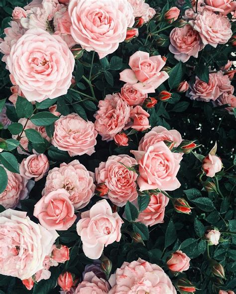aesthetic pink roses wallpapers