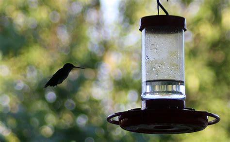 amazing hummingbirds sugar water recipe for feeders
