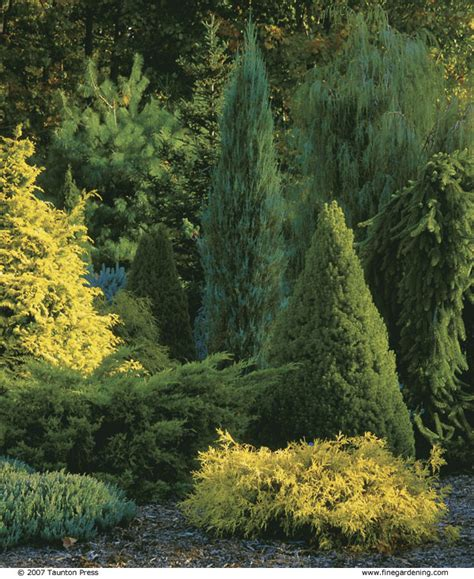 small conifer composing with conifers finegardening