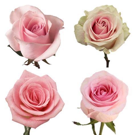 light pink roses light pink roses
