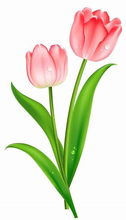 Tulip Clip Freepngimg