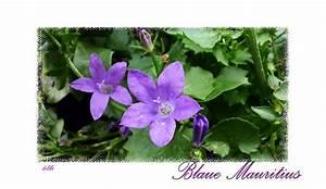 Rhododendron Blaue Mauritius : blaue mauritius pflanze g rtner p tschkes blaue mauritius ~ Lizthompson.info Haus und Dekorationen