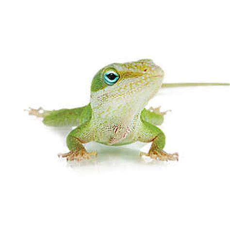 grreat choice crate pet reptiles for sale snakes geckos turtles more