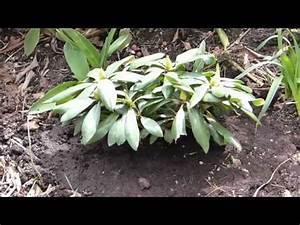 Löcher Im Rasen Ausbessern : rhododendren pflanzen doovi ~ Lizthompson.info Haus und Dekorationen