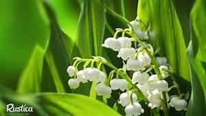 Comment Planter Du Muguet : elle vous montre comment planter et r colter du muguet c 39 est fait maison ~ Melissatoandfro.com Idées de Décoration