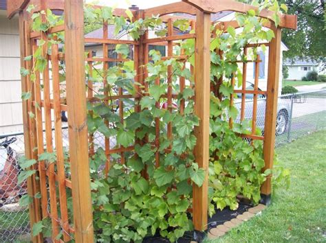 Grape Trellis by Grape Trellis Grape Vines Grape Trellis